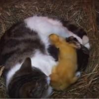 【動画】母性って凄い!子猫とアヒルの赤ちゃんを一緒に育てる母猫
