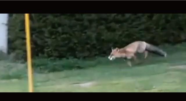 【動画】狐につままれるとはこのことーナイスショット!と思ったらキツネがボールを強奪