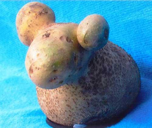 「羊のようなジャガイモ」が発見され海外で話題に
