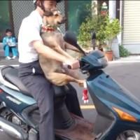 【動画】これは凄い!www器用にバイクにまたがる犬