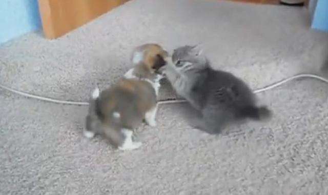 【動画】萌え死に注意!「子猫」 vs「 子犬」の戦いが可愛すぎてヤバい!