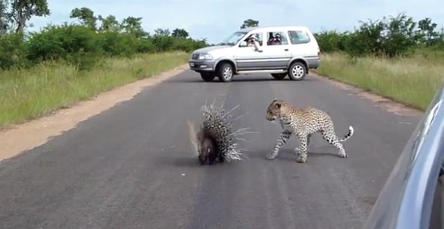 【動画】ヤマアラシ強ェェェ!!豹を撃退するヤマアラシの勇姿