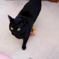 【動画】黒猫の事を親だと思ってずっと側を離れないアヒルの子が可愛い!