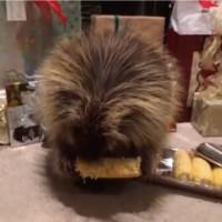 【動画】時折「ウミャー!!」と叫びながらトウモロコシをムシャムシャ食べるヤマアラシ