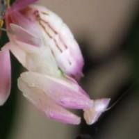 【昆虫・閲覧注意】凄い完成度で蘭の花になりすますカマキリ「Orchid Mantis」が凄い!