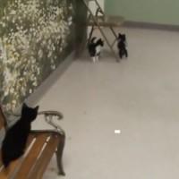 【動画】2匹の子猫に追い詰められてまさかの罠にはまる子猫が可愛いw