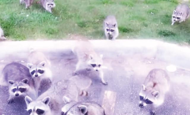 【動画】お菓子の袋を開けたら森から大量のアライグマが出てきた