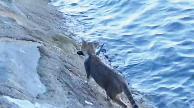 【動画】自給自足!?「自分で魚を捕る猫」が凄い