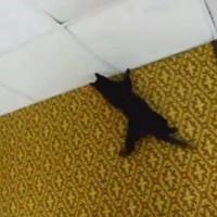 【動画】レーザーポインターを追って壁を忍者のように登る猫が凄い!