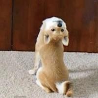 【動画】柴犬に悪魔が取り憑いた!?エクソシストのあのシーンみたいになっちゃう犬