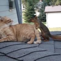 【動画】元ルームメイトの猫に会いに戻ってくる逃げたペットのリス