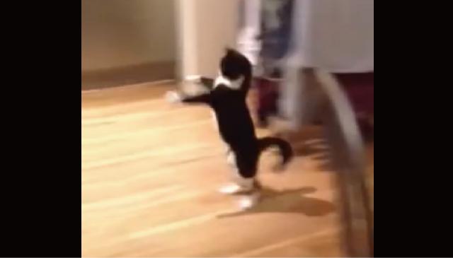【動画】カンガルー・・・いや、キョンシーみたいな動きをする猫