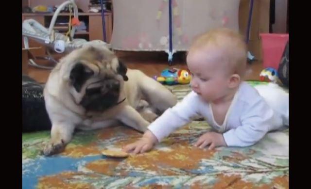 【動画】可愛すぎる!赤ちゃんとパグのお菓子争奪戦