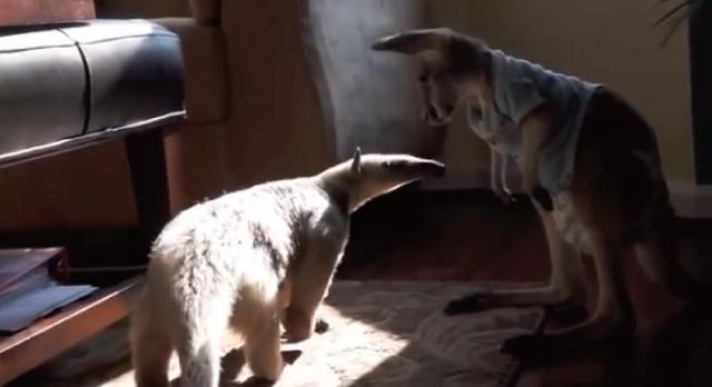 【動画】猫とアリクイとモモンガと赤ちゃんカンガルーの共同生活が可愛い!