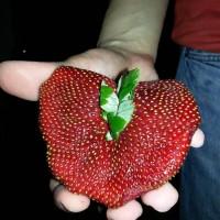 「見て!見て!ハート型のイチゴを見つけたよ!」→「きもっ!!」