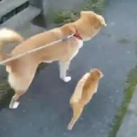 【動画】犬小屋に住み着いた野良猫親子が犬と一緒に散歩する姿がカワイイ!