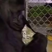 【動画】手話が使えるゴリラ「ココ」がペットの子猫「ボール」の死を受け入れた瞬間