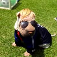 本田圭佑にそっくりな犬「本田けいす犬」が可愛すぎるwww