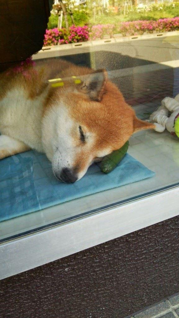 武蔵小金井のタバコ屋さんの超カワイイ看板犬「シバくん」の動画まとめ