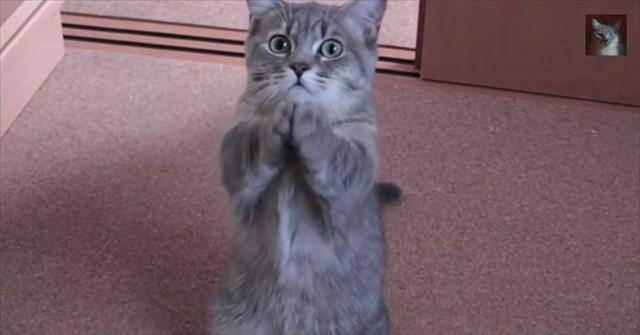 【動画】手を合わせてご飯をおねだりする猫が超可愛い!
