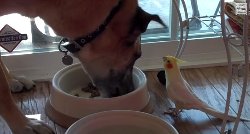 【動画】ご飯を食べる犬に向かって必死に歌うオカメインコが超可愛い!