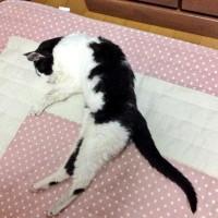 猫の模様がよく見たら猫模様だったとTwitterで話題に