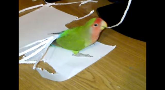 【動画】紙を器用にちぎって自分の羽に装着しちゃうお洒落なコザクラインコ