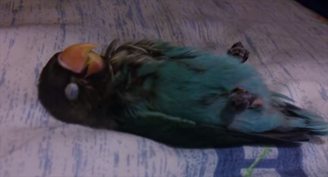 【動画】「ウソみたいだろ。生きてるんだぜ。」死んだように熟睡するインコが可愛い!