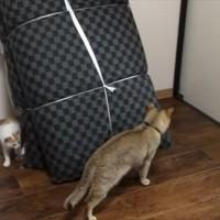 【動画】志村ー!後ろ後ろ!子猫を追いかけているつもりがいつの間にか背後を取られる猫