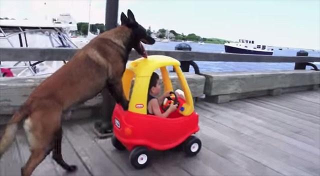 子供を護りながらベビーカーを手で押す訓練されたジャーマン・シェパードが凄い!