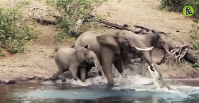 【動画】象が水の中に鼻を入れていたら突然ワニにガブっと噛まれるハプニング!これは痛い!
