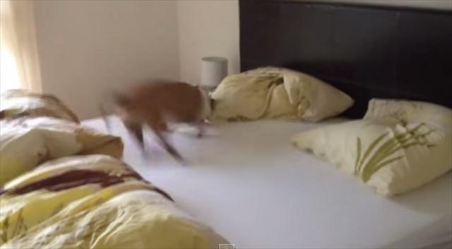 【動画】「ヒャッホー!!新しいシーツだ!イヤッホーイ!!」新しいシーツが嬉しくて大はしゃぎする犬
