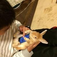 「ウサギのお腹にスマホを置くとスマホケースぽくなる」とTwitterで話題、真似する人も
