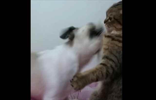 【動画】シーズー犬の左右の揺さぶりに華麗に猫ビンタをお見舞いする猫