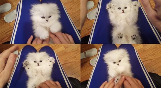 【萌死注意】膝の上でこちょこちょするとバァ~!っとするフワフワモコモコの子猫が可愛すぎて悶絶した!