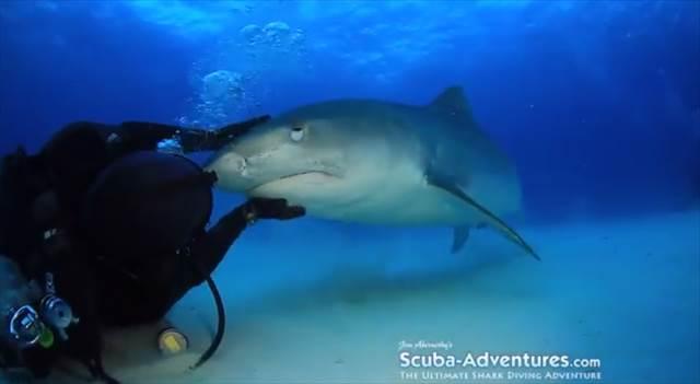 【動画】タイガーシャークの喉を猫みたいに撫でると喜ぶことが判明!