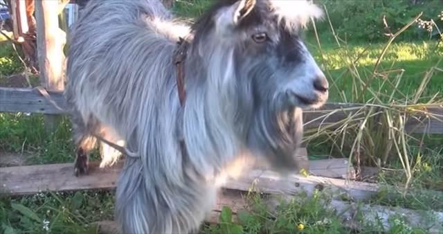 【動画】ヤギの動きにヒューマンビートボックスを合わせたら超ノリノリに見えることが判明!