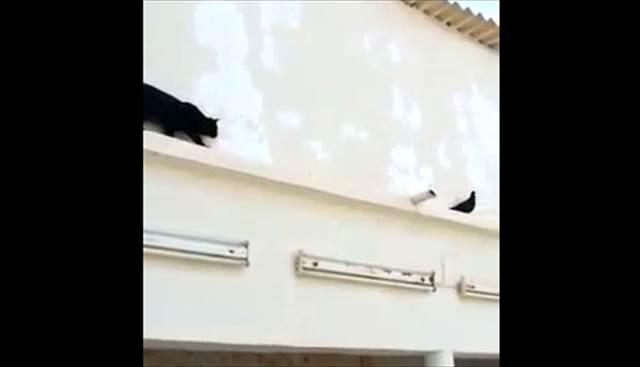 【動画】猫を翻弄する超賢い鳩が凄い!まるでトムとジェリーのやりとりみたいw