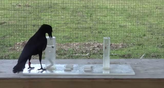 【動画】イソップ童話の『カラスの水差し』を応用した実験を難無くこなす超賢いカラスが話題
