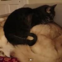 【動画】それオフトゥンちゃう!犬のことを暖房器具と勘違いしている猫