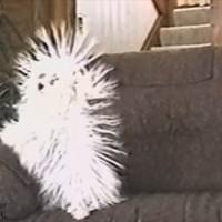 【動画】静電気で毛がウニみたいになちゃう犬が凄い!でもちょっと可哀想w