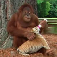 今すぐ帰って子供を抱きしめたくなる!赤ちゃん虎を我が子のように可愛がるオランウータンが話題