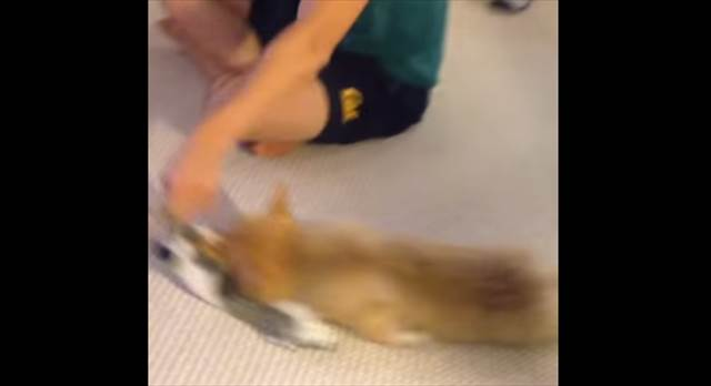 【萌死注意】可愛いコーギー犬が床で引きずり回されている映像が話題に