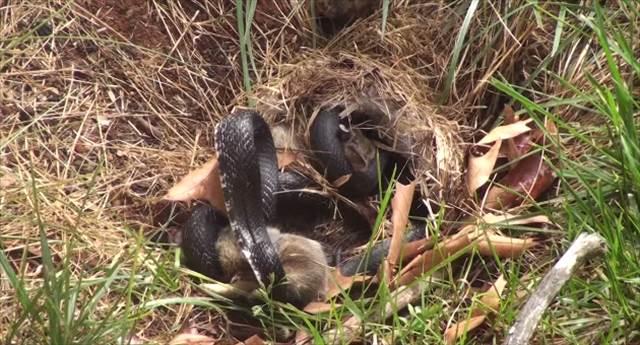 母は強し!ヘビに捕まった赤ちゃんウサギを救う母ウサギの姿に胸を打たれた!