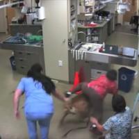 完全に漫画の世界!病院を嫌がる犬を押さえつけていた女性がそのままロデオで連れ去られるハプニングw