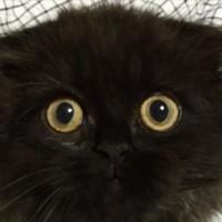 海外で話題のまっくろくろすけにそっくりな黒猫「Gimo」ちゃん