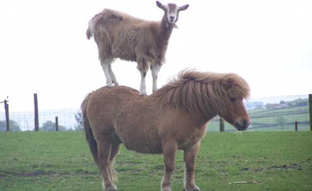 【画像】ポニーの上にヤギが乗ってる!!「ヤギ on ポニー」が可愛い。