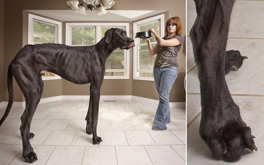 目を疑うほどデカい!!デカすぎる犬「ゼウス」がギネス認定。