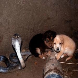 井戸に落ちた子犬を48時間守ったキングコブラが話題