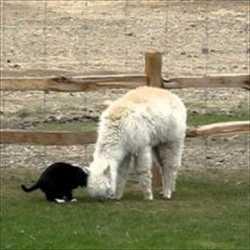 【動画】愛に種別なんて関係ない!超仲良しなアルパカと猫